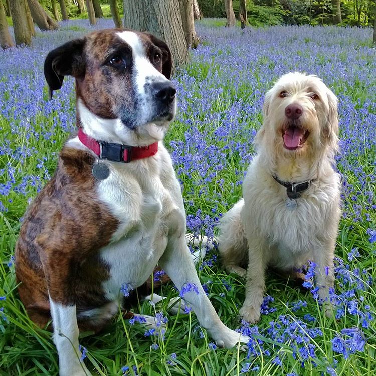 A field of bluebells and happy dogs could there behellip
